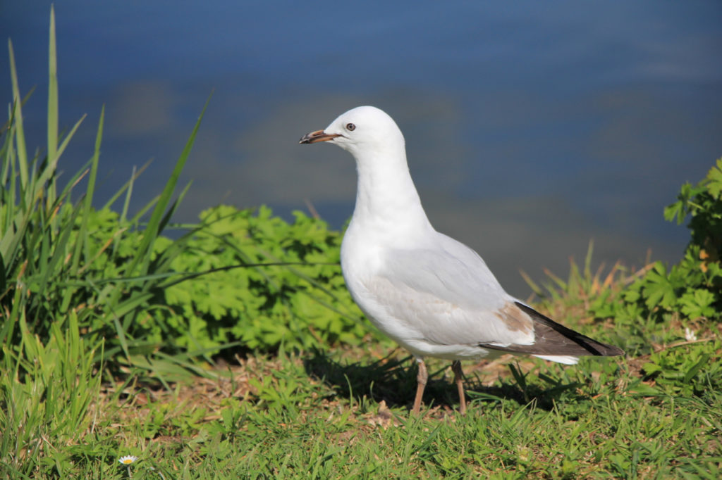 Seagull at Lake Rotorua, New Zealand